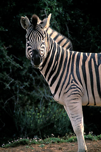 image 7-435-8 Southern Africa, Animals, Burchells zebra