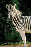 stripe stock photography | Southern Africa, Animals, Burchell