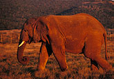 on foot stock photography | Southern Africa, Animals, Elephant, Shamwari Reserve, image id 7-438-13