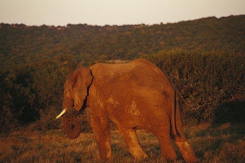 image 7-438-19 South Africa, Animals, Elephant at sunset