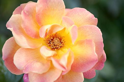 image S4-540-9915 Spain, Granada, Rose