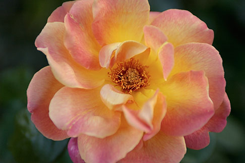 image S4-540-9916 Spain, Granada, Rose