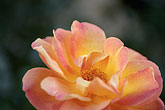 close up stock photography | Spain, Granada, Rose, image id S4-540-9920