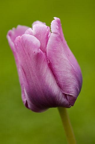 image 5-700-5007 Flowers, Tulip