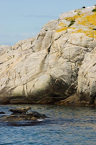 image 5-710-5570 Sweden, Fjallbacka, Seals on rocks
