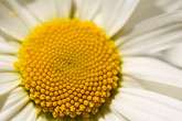 circle stock photography | Flowers, Daisy, image id 5-730-3480