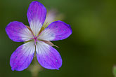 purple stock photography | Sweden, Grinda Island, Wildflower, image id 5-730-3670