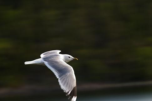 image 5-730-3715 Sweden, Grinda Island, Gull