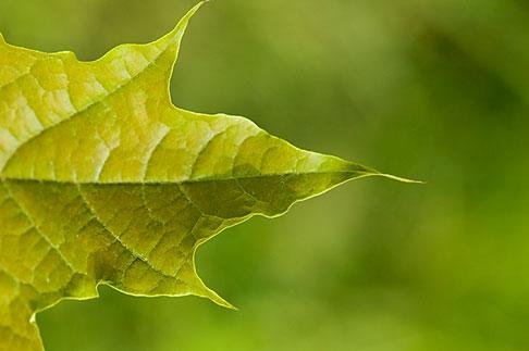 image 5-730-3810 Sweden, Grinda Island, leaf