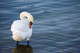 tranquil stock photography | Birds, White swan, image id 5-730-6312