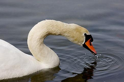 image 5-730-6593 Birds, White Swan