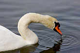 tranquil stock photography | Birds, White Swan, image id 5-730-6593