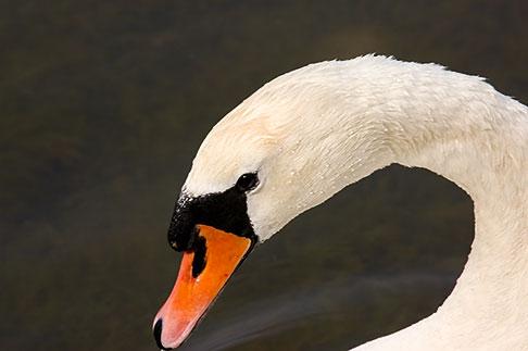 image 5-730-6595 Birds, White Swan