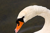 tranquil stock photography | Birds, White Swan, image id 5-730-6595