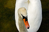 tranquil stock photography | Birds, White swan, image id 5-730-6603