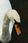ornithology stock photography | Birds, White swan, image id 5-730-6605