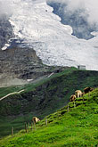 farm stock photography | Switzerland, Alps, Cattle grazing under the Mšnch glacier, image id 2-102-14