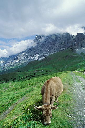 image 2-102-9 Switzerland, Alps, Cow grazing in front of the Eiger North Face