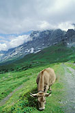 domestic animal stock photography | Switzerland, Alps, Cow grazing in front of the Eiger North Face, image id 2-102-9