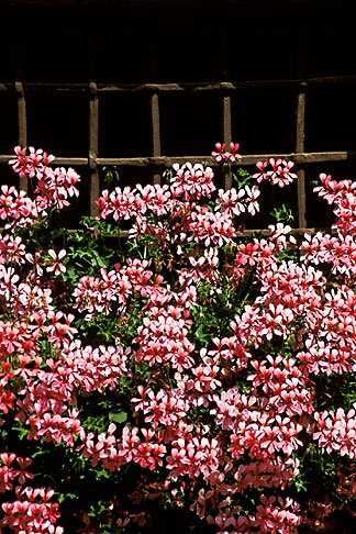 image 2-92-30 Switzerland, Bergell, Pink flowers, iron grate in window, Soglio