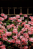 flowers stock photography | Switzerland, Bergell, Pink flowers, iron grate in window, Soglio, image id 2-92-30