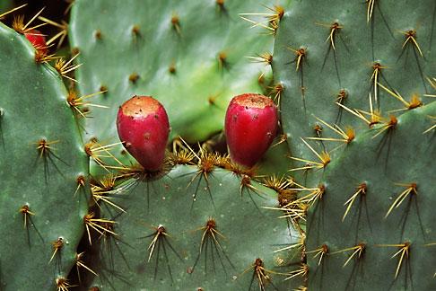 image 1-720-73 Texas, Goliad, Prickly Pear Cactus