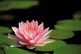 leaf stock photography | Thailand, Sukhothai, Lotus flower in pond, image id 0-381-37