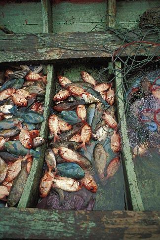 image 7-526-5 Thailand, Phuket, Fresh caught fish