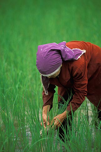 image 7-527-34 Thailand, Phuket, Rice paddy