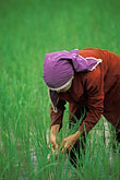 one woman only stock photography | Thailand, Phuket, Rice paddy, image id 7-527-34