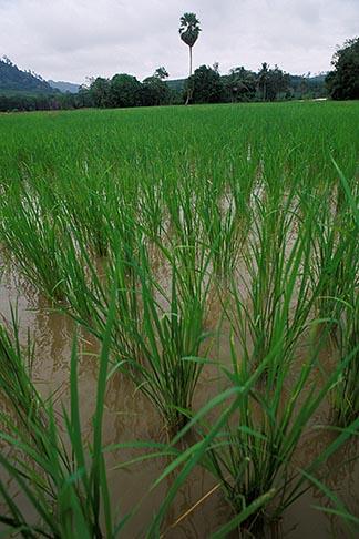 image 7-528-21 Thailand, Phuket, Rice paddy