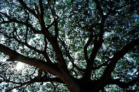 image S3-103-1 Thailand, Phimai, Tree, Phimai Historical Park