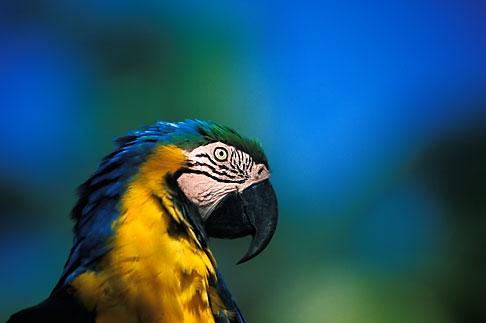 image 8-56-17 Tobago, Parrot, Pigeon Point