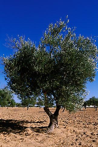 image 3-1100-33 Tunisia, Djerba, Olive tree