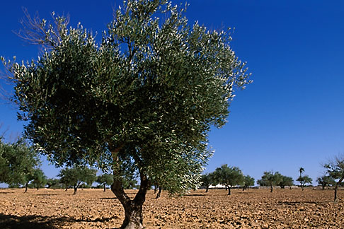 image 3-1100-34 Tunisia, Djerba, Olive tree