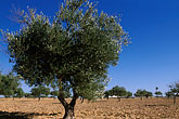 leaf stock photography | Tunisia, Djerba, Olive tree, image id 3-1100-34