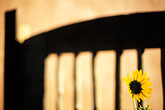 yellow stock photography | New Mexico, Santa Fe, Sunflower, image id S4-351-28