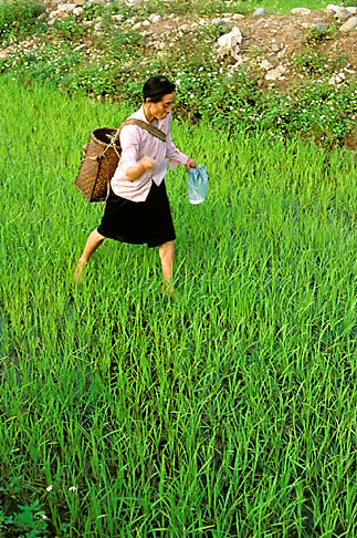image S3-195-4 Vietnam, Lai Chau, Seeding rice paddies