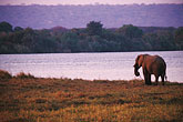 horizontal stock photography | Zimbabwe, Zambezi National Park, Elephant on the Zambezi River bank, image id 7-399-1