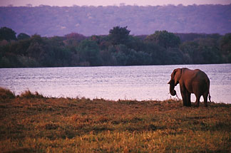 7-399-1 stock photo of Zimbabwe, Zambezi National Park, Elephant on the Zambezi River bank