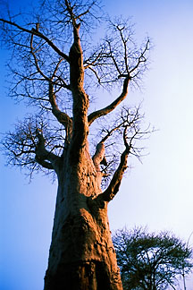 7-407-10 stock photo of Zimbabwe, Zambezi NP, Baobab tree
