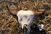 slain stock photography | Zimbabwe, Zambezi National Park, Buffalo skull, image id 7-407-3